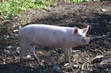Four season Farm Pig / Meg Hannan Photo