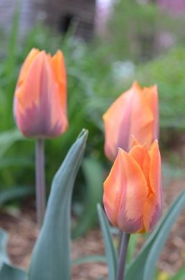 Orange and Maroon Tulips / Photo by Meg Hannan