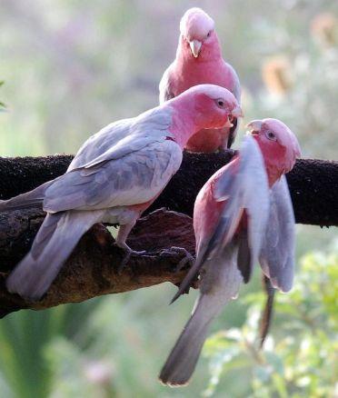 Galahs, PInk and Grey Cockatoos - Photo by John Dart